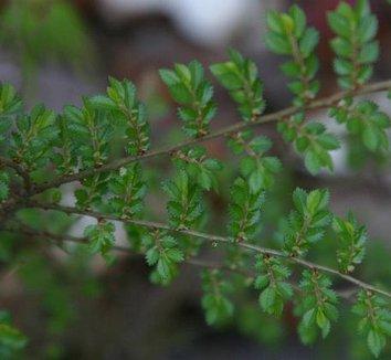 Ulmus parvifolia 'Hokkaido' 7