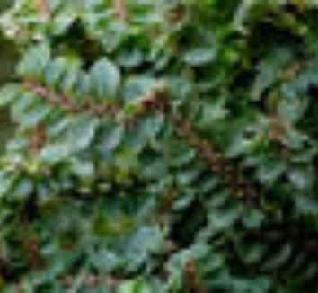 Ulmus parvifolia 'Hokkaido' 8