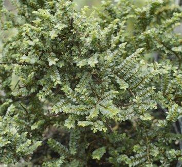 Ulmus parvifolia 'Hokkaido' 1