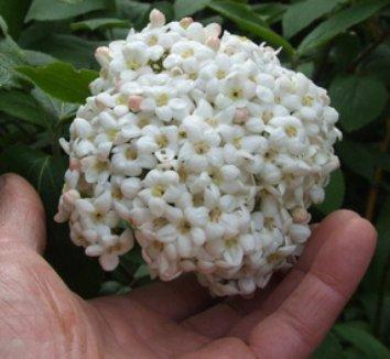 Viburnum x carlcephalum 1 flower