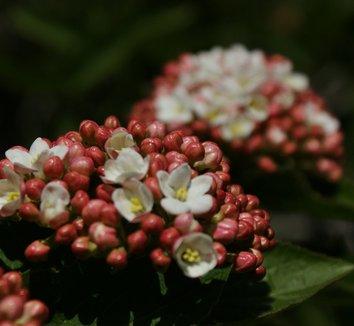 Viburnum x carlcephalum 5 flower