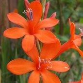 Watsonia angusta