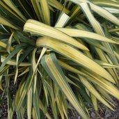 Yucca 'Garland Gold'