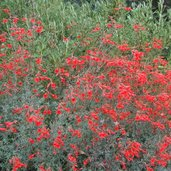 Zauschneria californica 'Bowman'