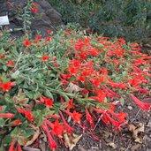 Epilobium canum var. latifolium 'Everett's Choice'
