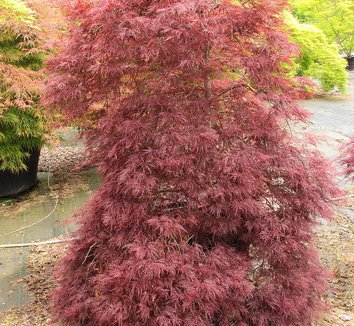 Acer palmatum 'Red Filigree Lace' 14 form