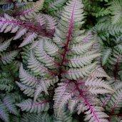 Anisocampium niponicum 'Regal Red'