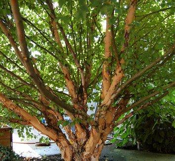 Betula nigra 'Little King' 10