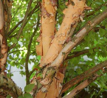 Betula nigra 'Little King' 8