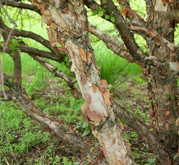 Betula nigra 'Little King' 6