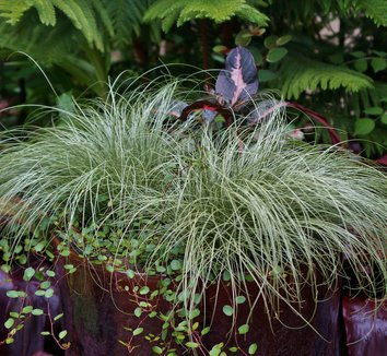 Carex comans 'Frosted Curls' 8