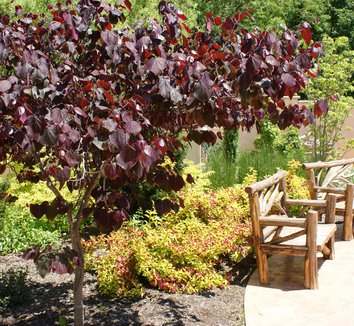 Cercis canadensis 'Forest Pansy' 10 form