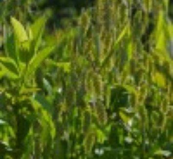 Chasmanthium latifolium 29 flower
