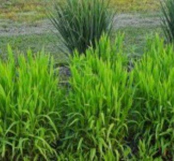 Chasmanthium latifolium 32