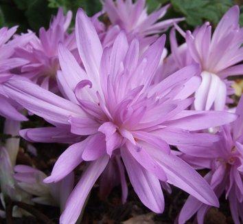 Colchicum 'Waterlily' 4 flower