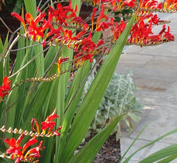 Crocosmia 'Lucifer' 5 flower