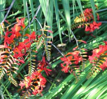 Crocosmia 'Lucifer' 17 flower