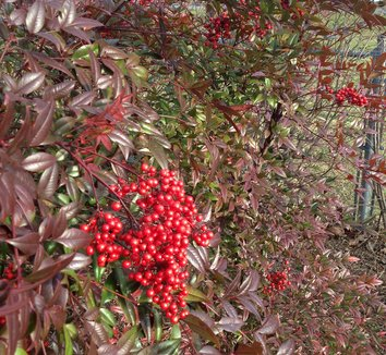 Nandina domestica 'Moyer's Red' 4 fruit