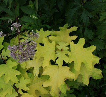 Hydrangea quercifolia 'Little Honey' 3