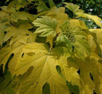Hydrangea quercifolia 'Little Honey' 4
