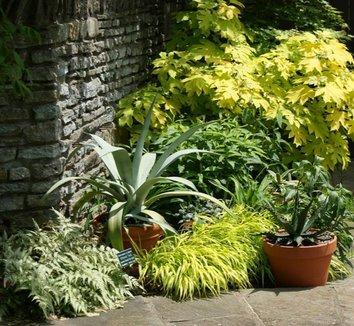 Hydrangea quercifolia 'Little Honey' 7