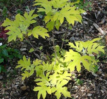 Hydrangea quercifolia 'Little Honey' 8