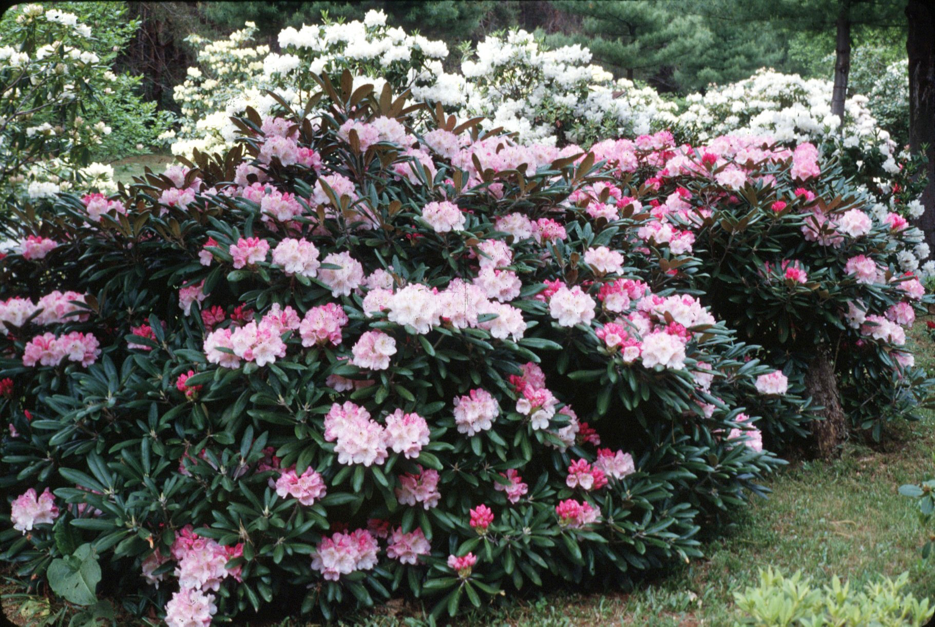 rhododendron yakushimanum vancouver island grows. Black Bedroom Furniture Sets. Home Design Ideas