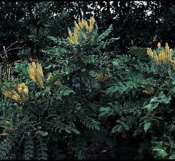Mahonia x media 'Arthur Menzies' 7 flower