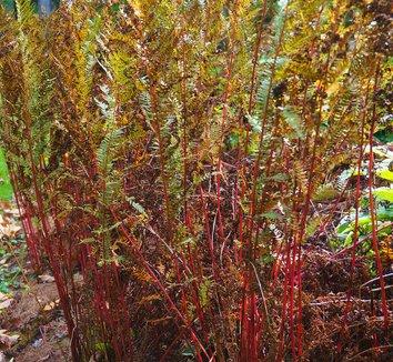 Athyrium filix-femina var. angustum 'Lady in Red' 8