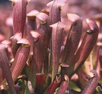 Sarracenia 'Red Bug' 1 flower