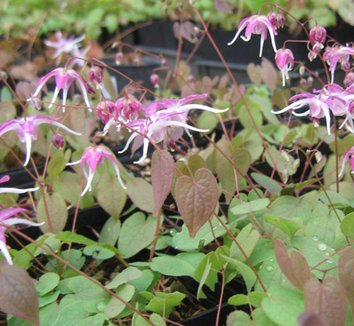 Epimedium grandiflorum 'Tama-no-genpei' 4 flower