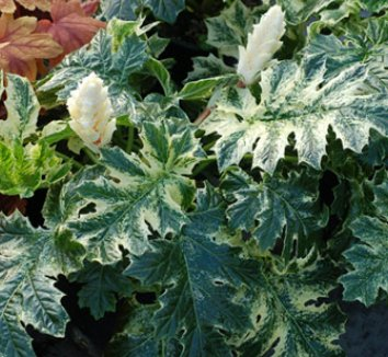 Acanthus 'Whitewater' 1