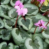 Cyclamen coum 'Something Magic'