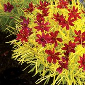 Coreopsis 'Cherry Lemonade'
