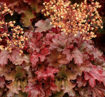 Heuchera 'Root Beer' 1 flower