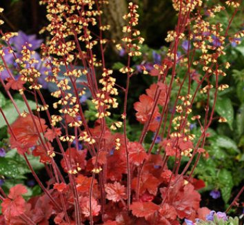 Heuchera 'Root Beer' 3 flower