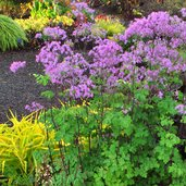 Thalictrum aquilegiifolium 'Black Stockings'