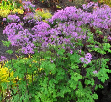 Thalictrum aquilegiifolium 'Black Stockings' 1 flower