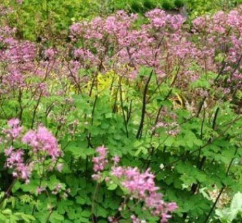 Thalictrum aquilegiifolium 'Black Stockings' 6 flower