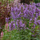 Nepeta 'Blue Dragon' PP22334