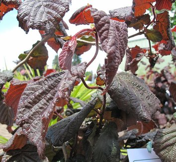 Corylus 'Red Majestic' 4