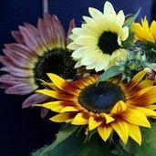 Helianthus 'Autumn Beauty'