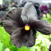Viola 'Black Accord'