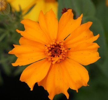 Tagetes erecta 'Cempoalxochitl' 1 flower