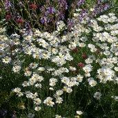 Chrysanthemum cinerarifolium