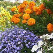 Tagetes 'Day of the Dead Orange'