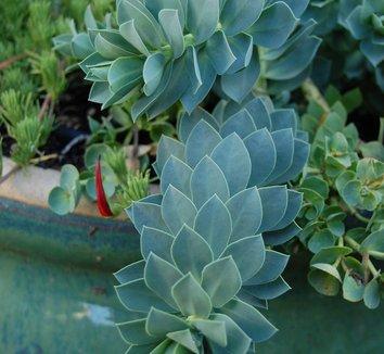 Euphorbia myrsinites 3