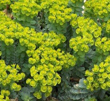 Euphorbia myrsinites 4 flower