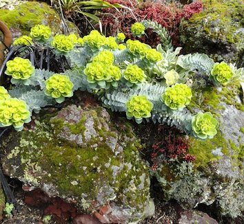 Euphorbia myrsinites 9 flower