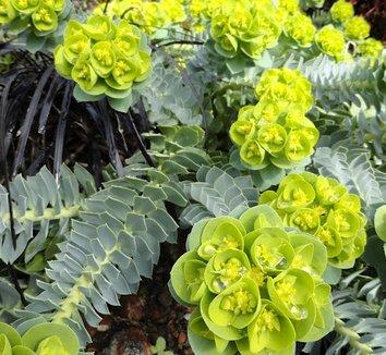 Euphorbia myrsinites 10 flower
